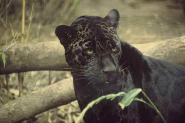 RN_Animal_Black_Panther_1